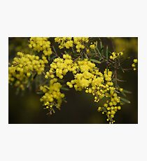 Wattle Flowers Photographic Print