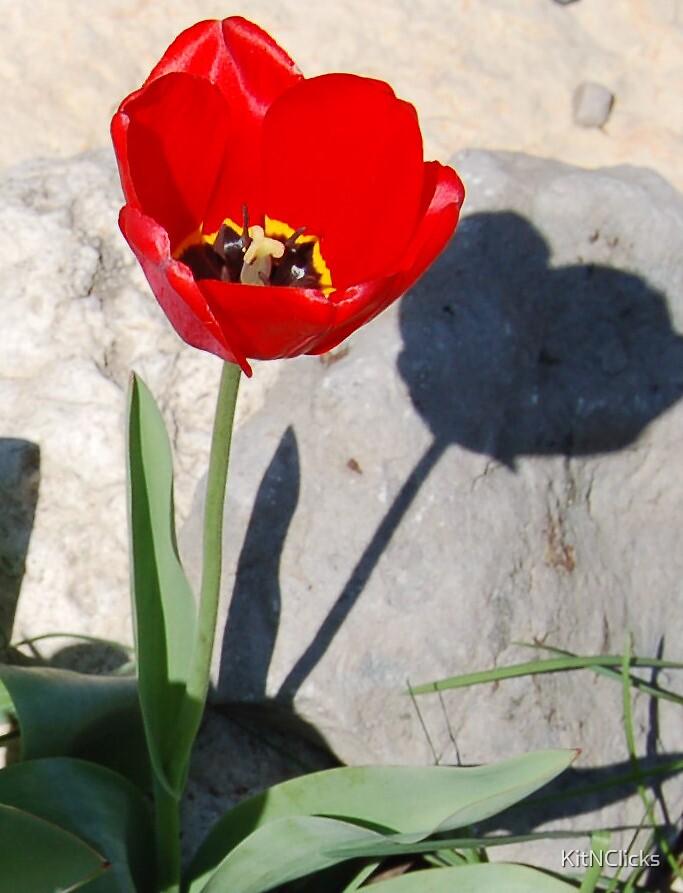 Shadowed Tulip by KitNClicks
