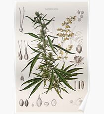 Cannabis Sativa - french botanical entry  Poster