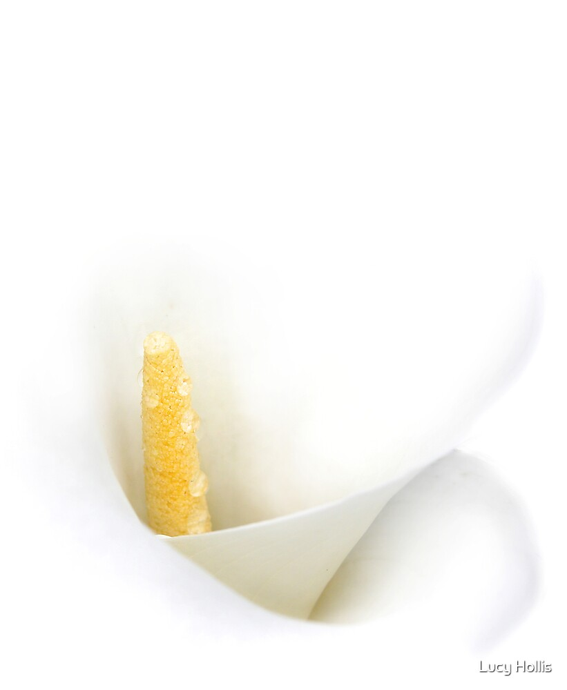 White Calla Lily by Lucy Hollis