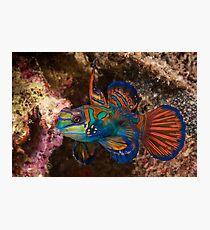 Mandarin Fish, Wakatobi National Park, Indonesia Photographic Print