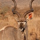 Kudu, Kruger National Park, South Africa by Erik Schlogl