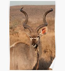 Kudu, Kruger National Park, South Africa Poster