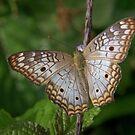 White Peacock Butterfly at Pillcopata, Peru by Erik Schlogl