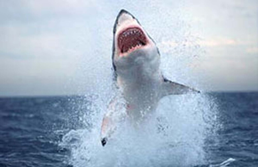 Great White by lodgey