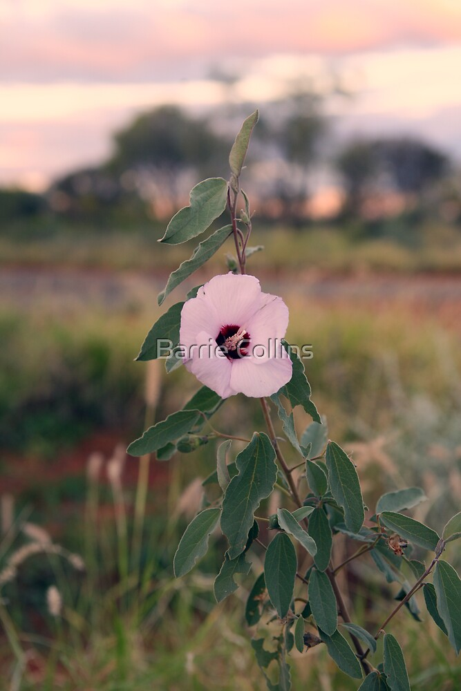 Sunset Deaert Rose by Barrie Collins