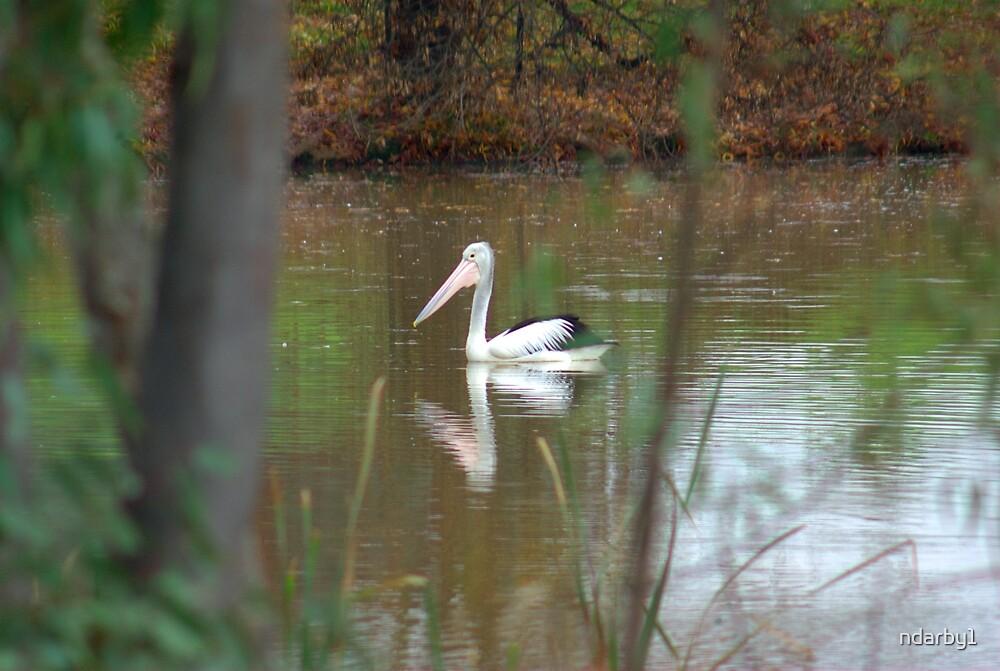 Lone Pelican by ndarby1