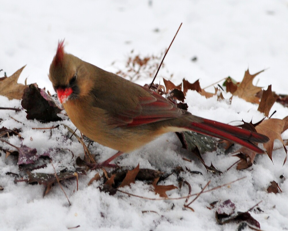 Female Cardinal by dumbomsa