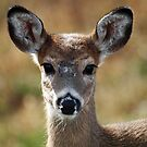 Young Whitetail Deer by Bine