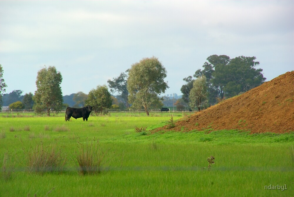 Lone Angus Bull by ndarby1
