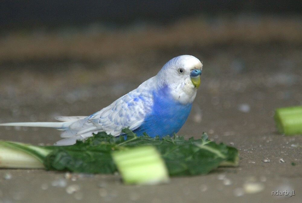 white wing blue budgie by ndarby1