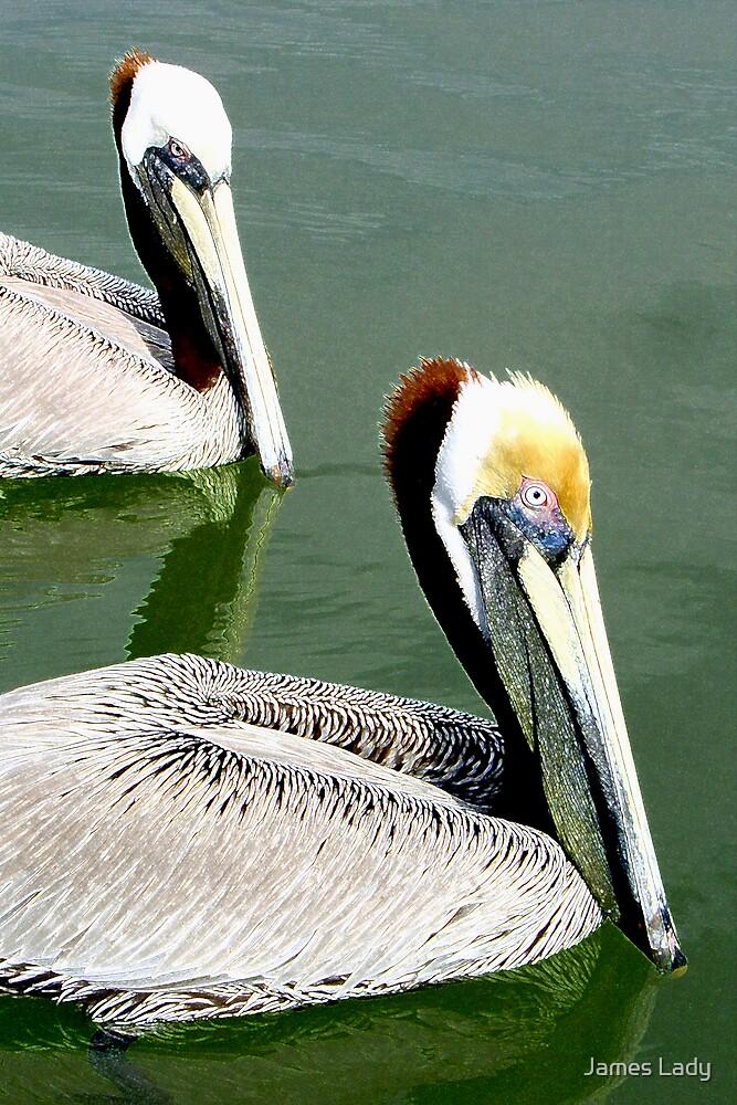 American Brown Pelicans by James Lady