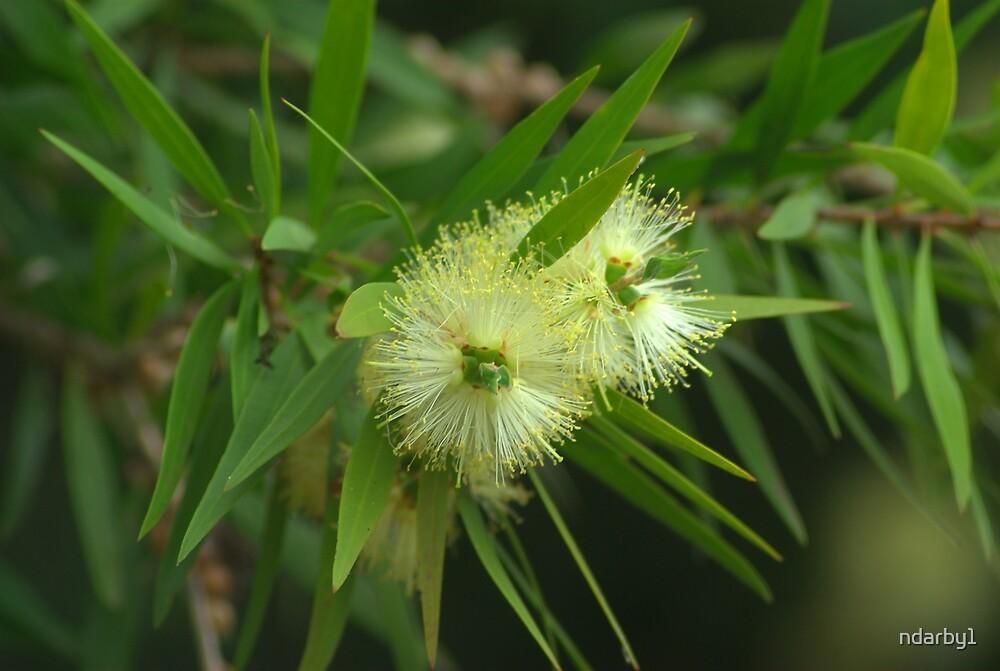 Callistemon flower by ndarby1