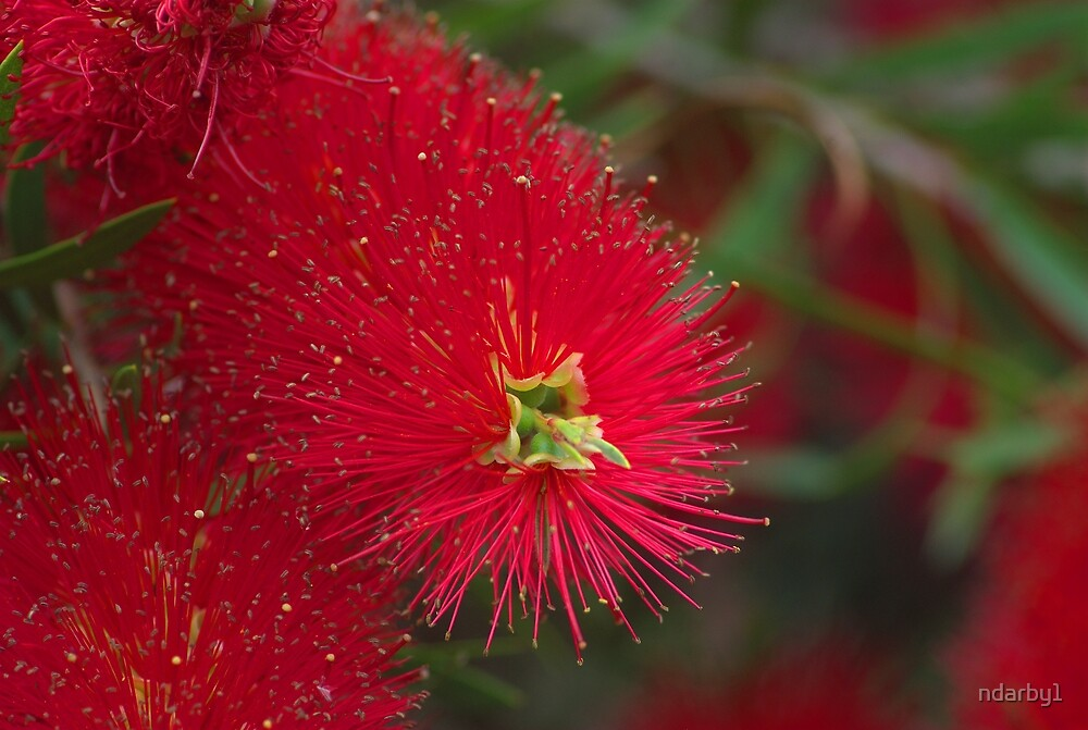 Red Callistemon by ndarby1