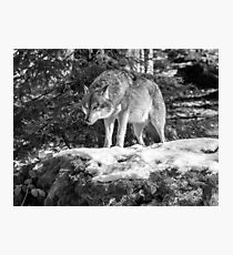Timber Wolf Winter Menaces Photographic Print