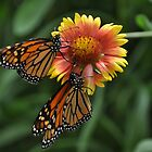 Sharing a flower - Monarchs by Poete100