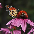 Monarch making friends with a bee... by Poete100