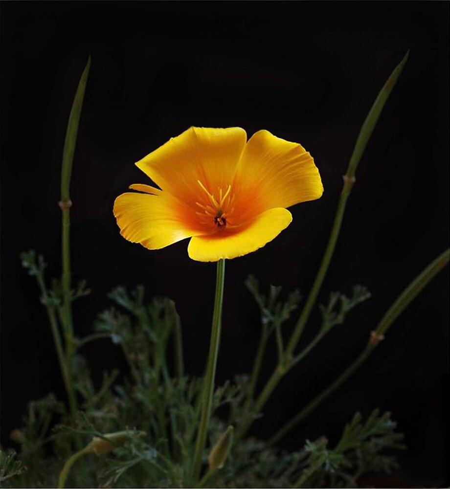 California Poppy by Ken  Aitchison