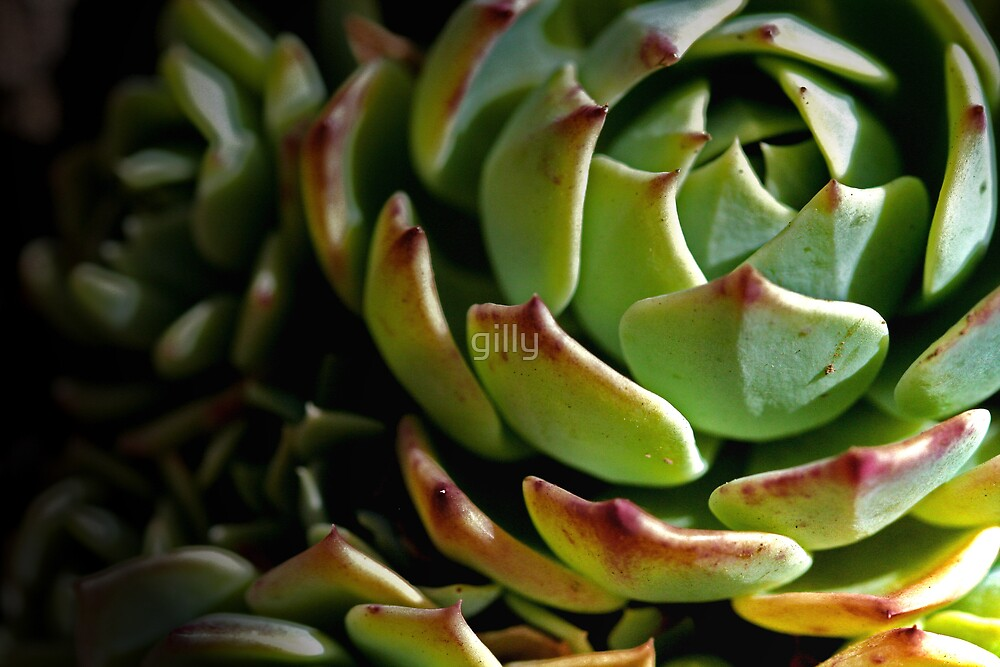 Succulent by Gill Duncan