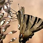 Scarce Swallowtail Feeding by taiche