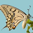 Swallowtail Butterfly Vector Isolated by taiche