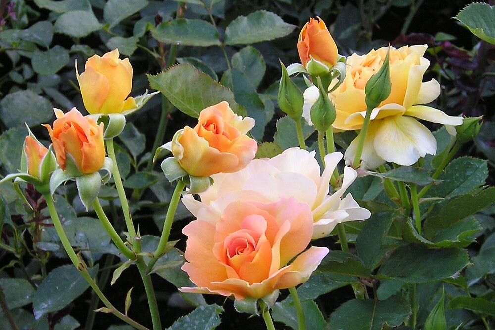 Roses by Colin & Cathie Townsend