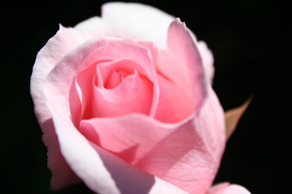 Rose by Amy Trebilco