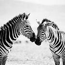 Zebra Kiss by Marnie Hibbert