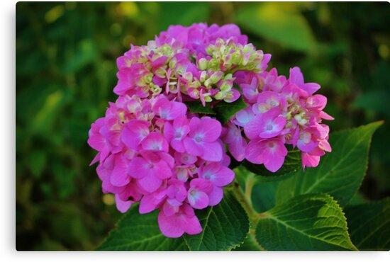 Pink Hydrangea by Cynthia48