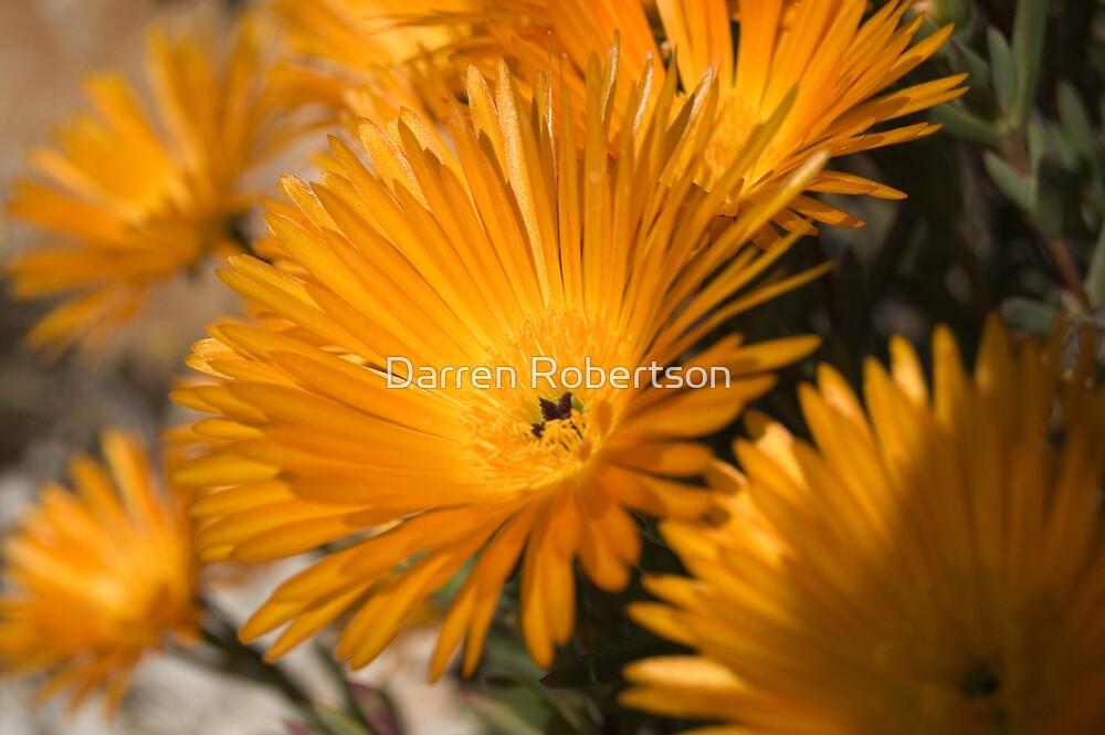 Yellow Orange Asters ( Spain 2007 ) by Darren Robertson