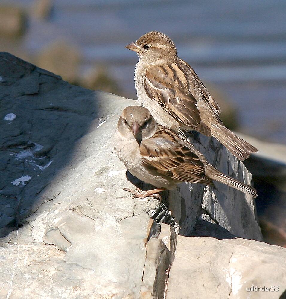 Sparrows by wildrider58