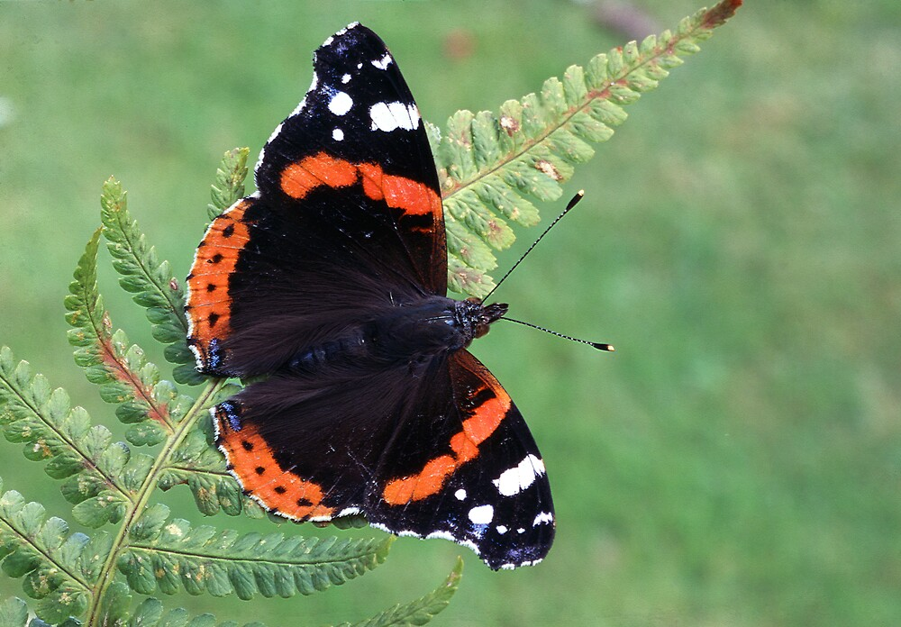 Red Admiral Butterfly by kitlew