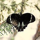 Der Schmetterling von Evita