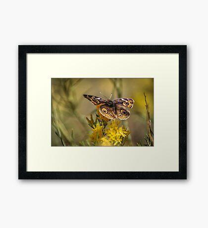 The Common Buckeye Framed Print