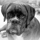 Betrachten meiner neuen Jahre Auflösung ~ Boxer Dogs Series von Evita