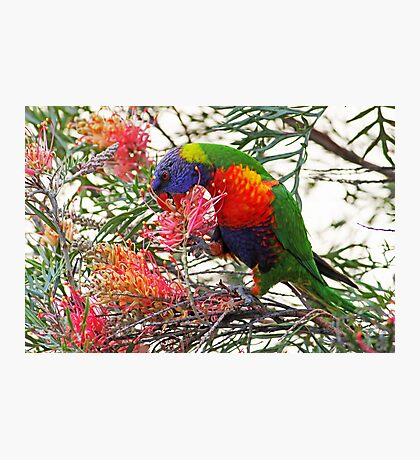 Rainbow Lorikeet ~ Breakfast Photographic Print