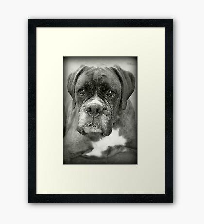 Ist das für mich? .... Boxer Dogs Series Gerahmter Kunstdruck