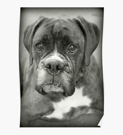 Ist das für mich? .... Boxer Dogs Series Poster