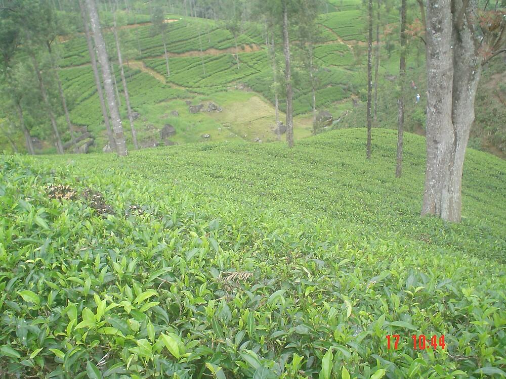 Tea gardens of Sri Lanka by hilsul