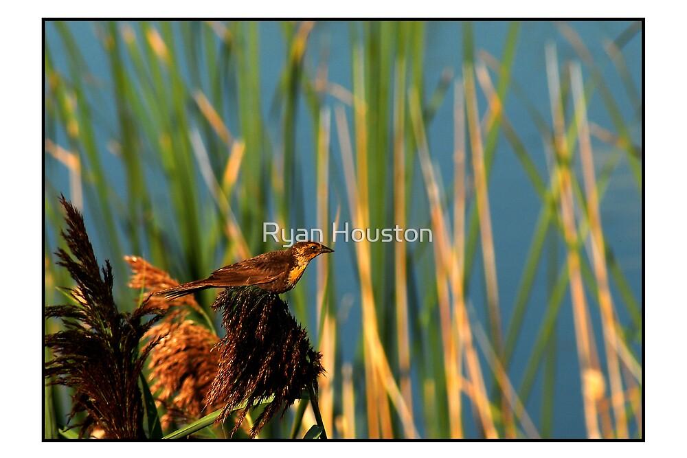 Female Yellow-Headed Blackbird by Ryan Houston