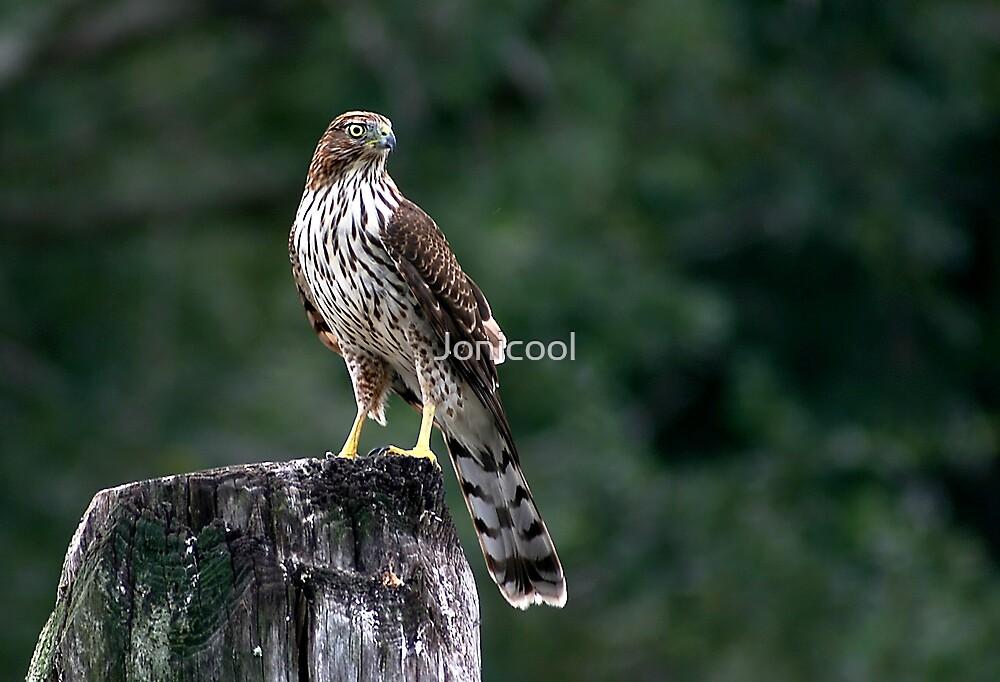 Cooper's Hawk by Jonicool