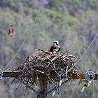 Ospreys With A Red Shouldered Hawk  by Laura Puglia