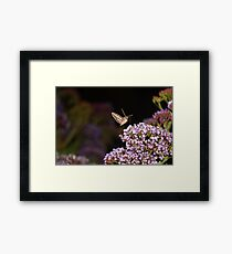 Hummingbird Hawk Moth Framed Print