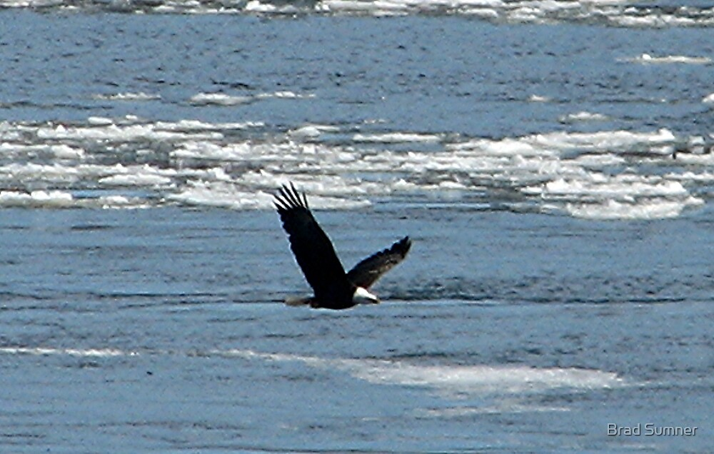 American Bald Eagle 1 by Brad Sumner