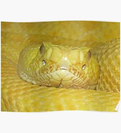 Yellow Rattle snake Poster