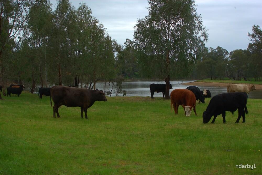 Cattle grazing by ndarby1