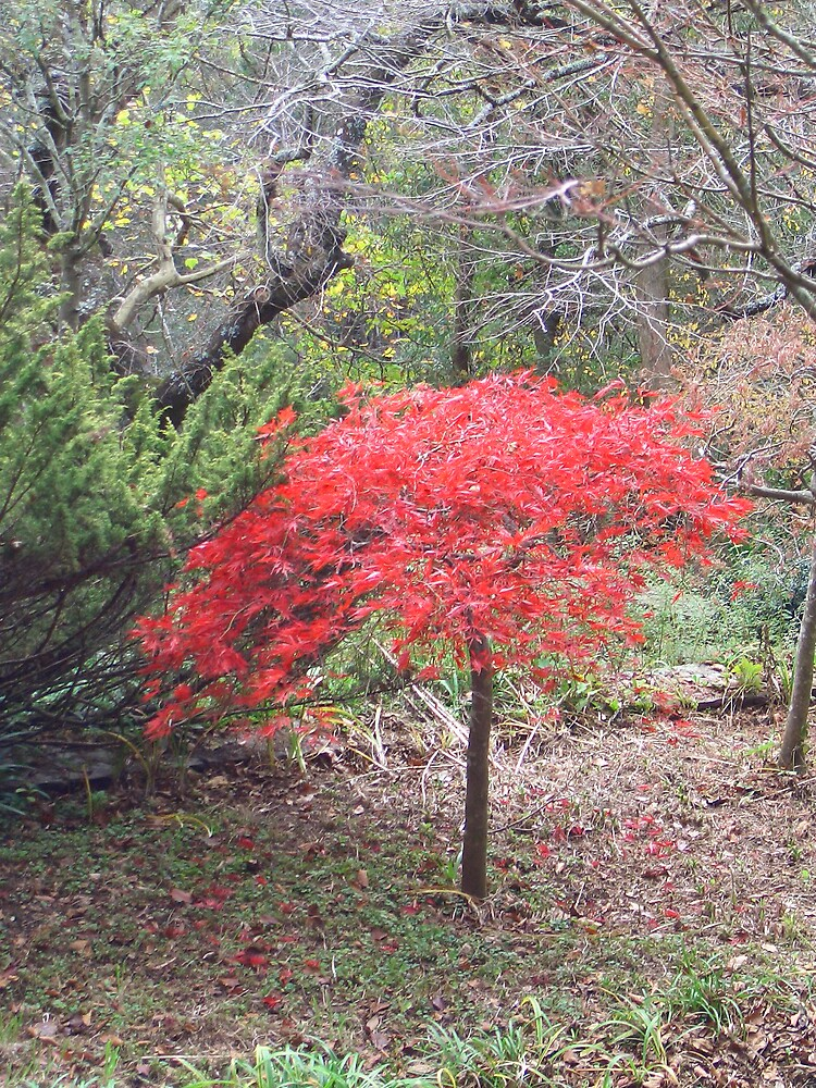 Japanese Maple 2 by portsmouth