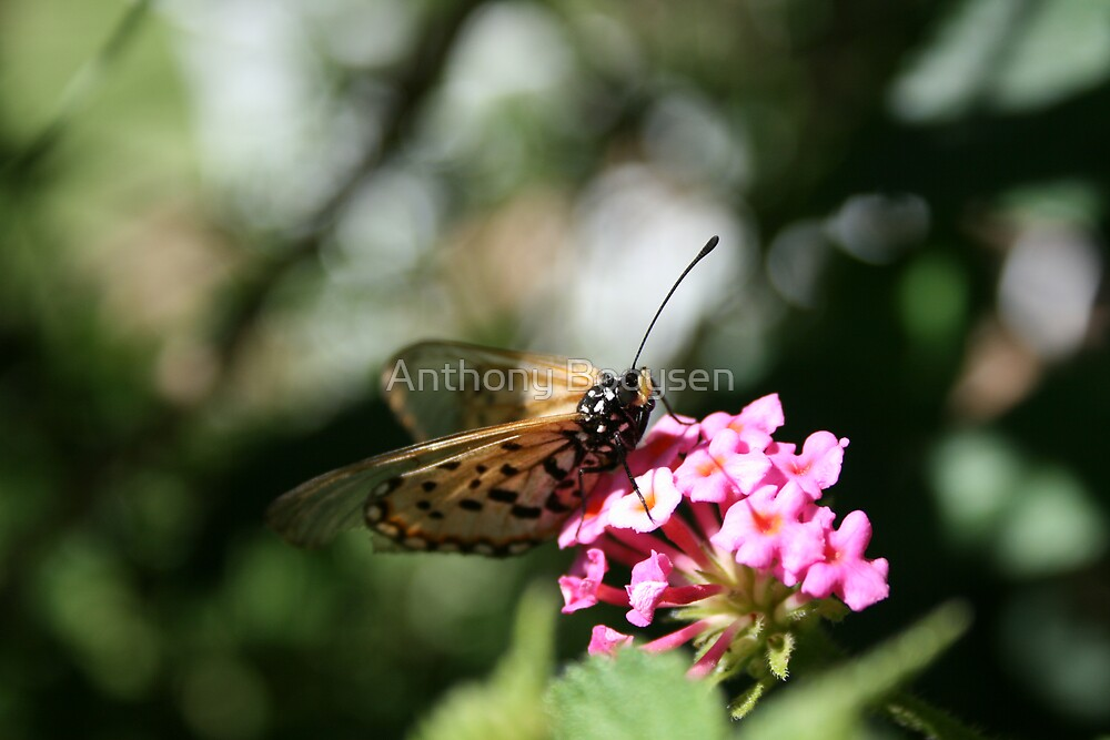 Orange Butterfly by Anthony Booysen