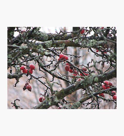 Crabapples and Raindrops Photographic Print