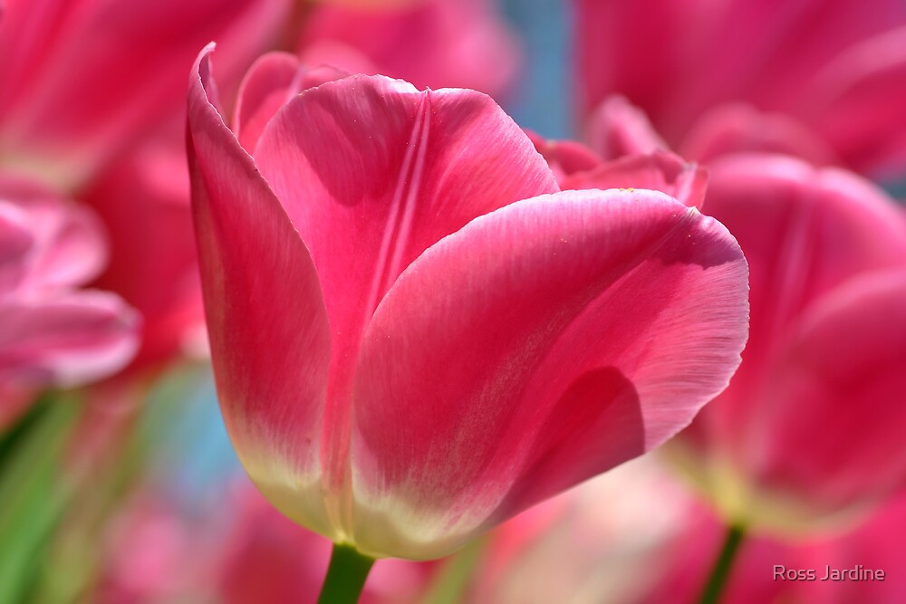 Pink Tulip by Ross Jardine